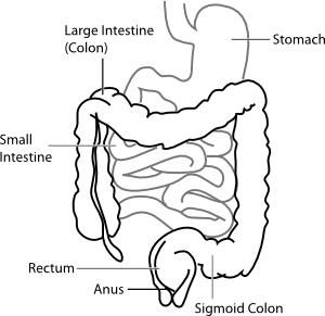 jpg freeuse Small Intestine Drawing at GetDrawings