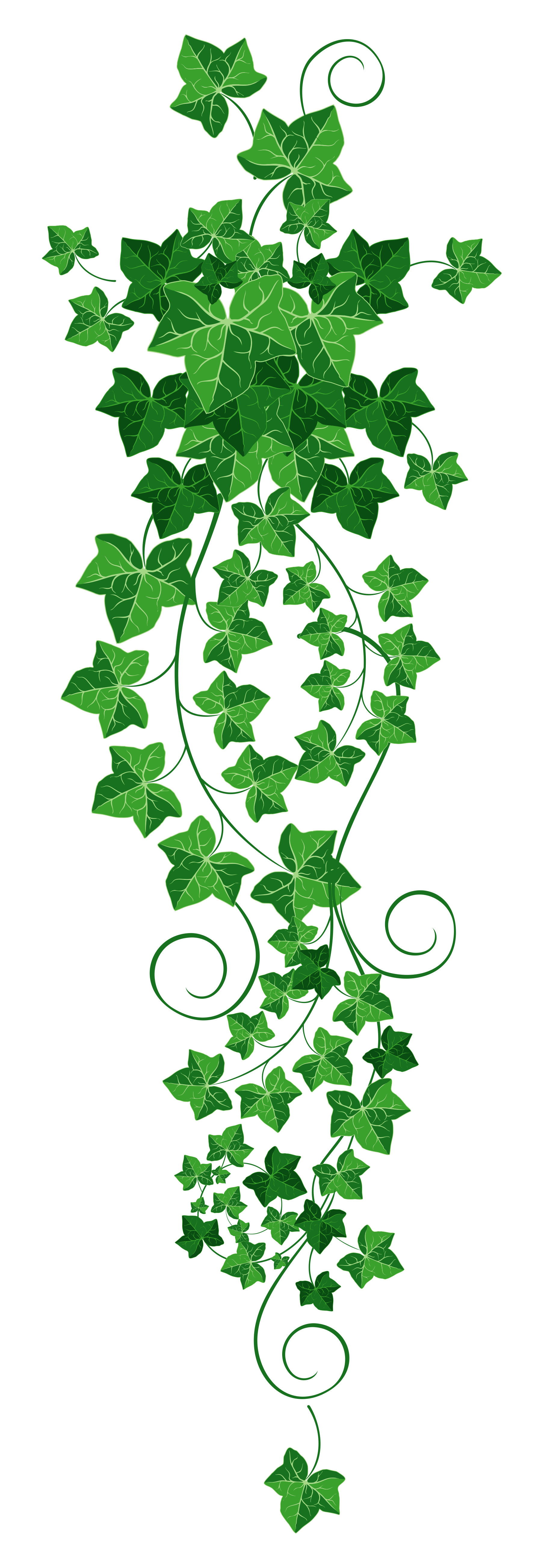 picture library download Ivy clipart. Vine png picture h.
