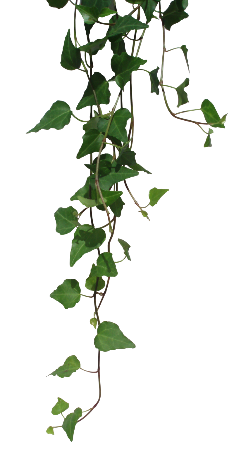 picture free download transparent Ivy la