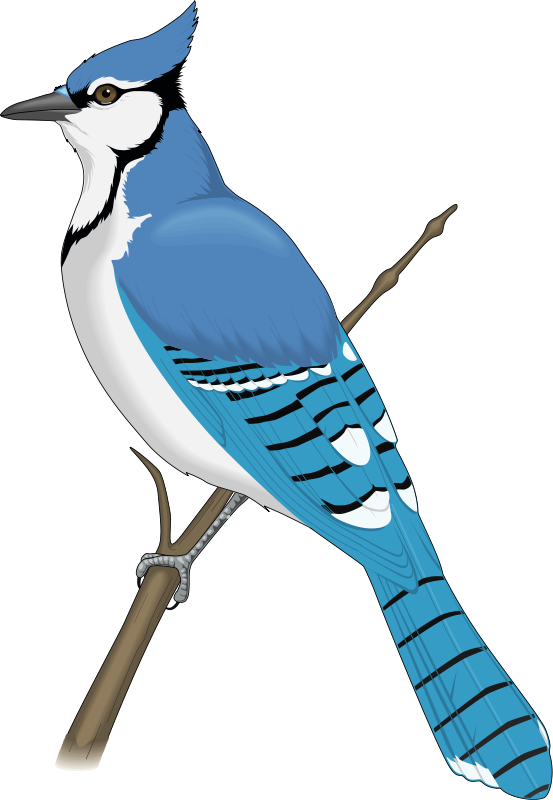 clip art black and white Rare bird free on. Jay clipart.