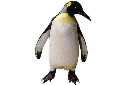picture black and white King penguin clipart. Free clip art images