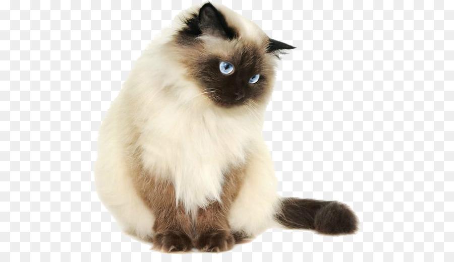 svg freeuse download Kitten transparent siamese. Himalayan cat persian ragdoll