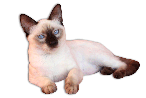 picture library download Traditional kittens for sale. Kitten transparent siamese