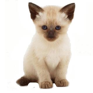 banner Kitten transparent siamese. Animal page baby chocolate