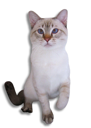 graphic royalty free stock Kitten transparent siamese. Applehead kittens for sale