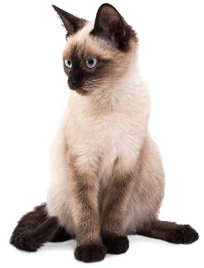 banner freeuse The brand in cat. Kitten transparent siamese