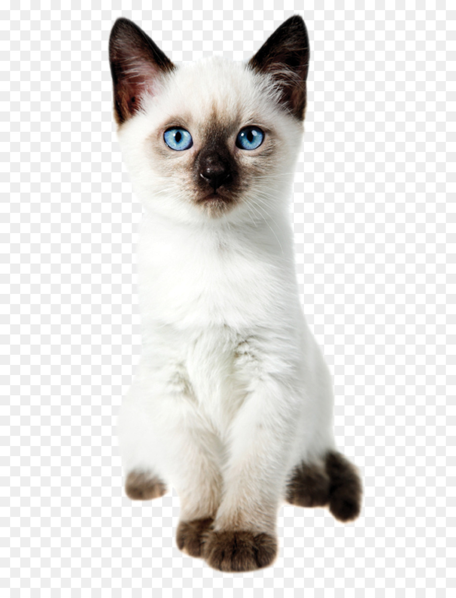 picture free stock Kitten transparent siamese. Cartoon png download free