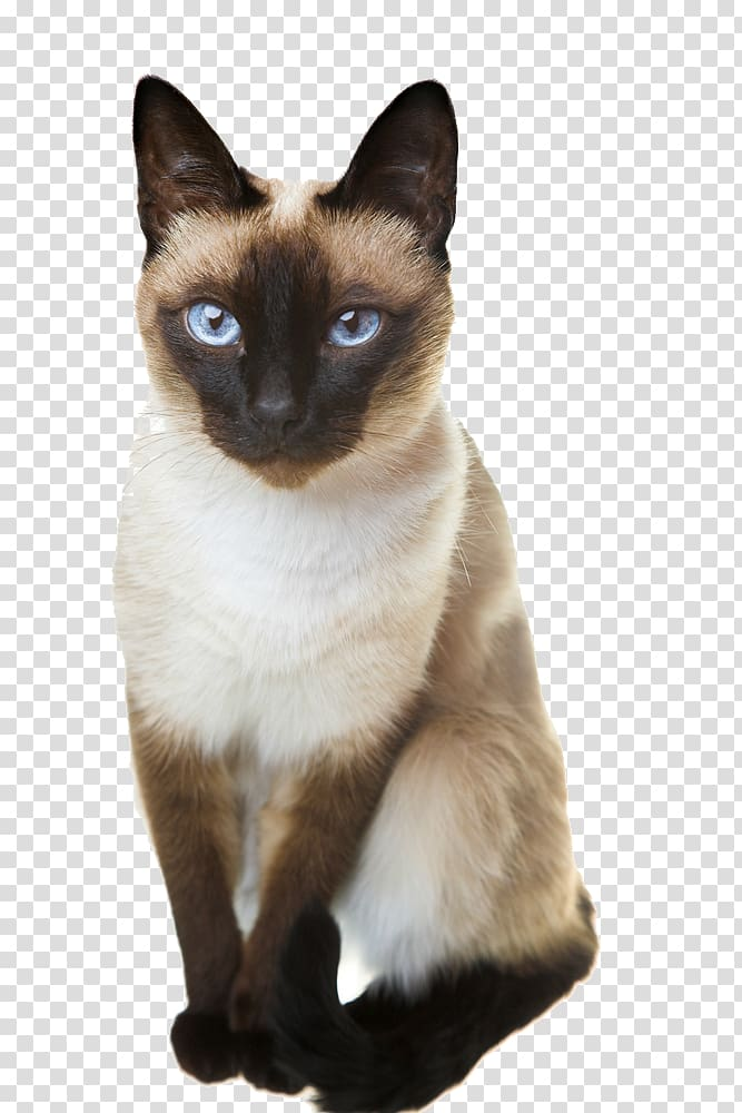 library Kitten transparent siamese. Cat thai balinese oriental