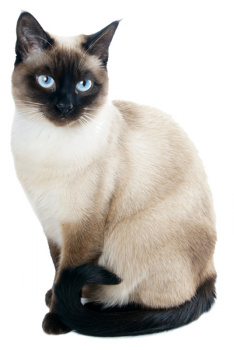 clip art free download Meow cats are pretty. Kitten transparent siamese