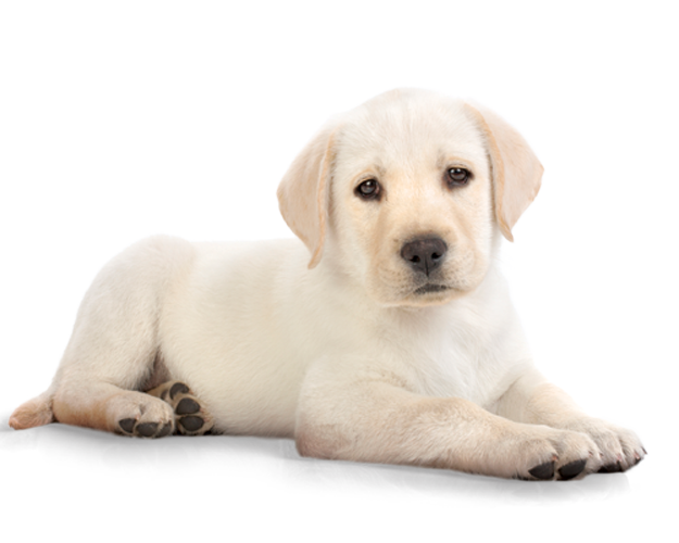 jpg freeuse stock Dog png image zwierz. Lab puppy clipart