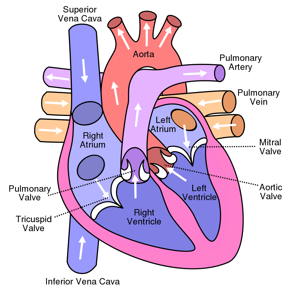 vector library library Show me a diagram of the human heart