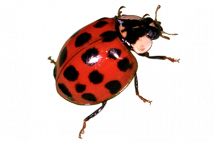 free library Png images free download. Ladybug transparent