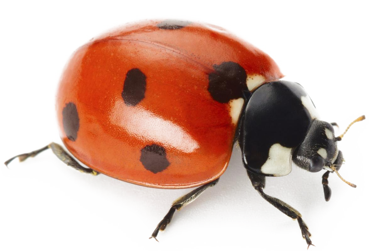 svg library library Ladybug transparent. Png images background play