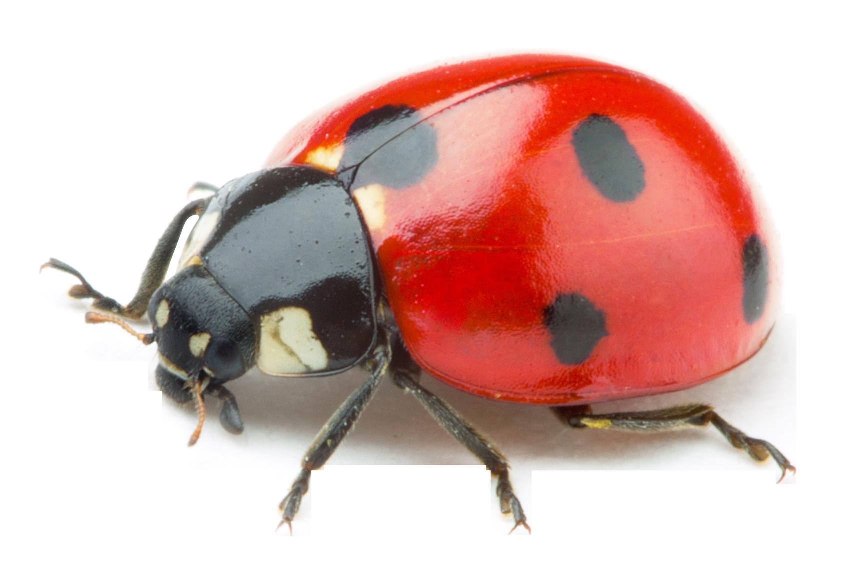 vector free download Ladybug transparent. Image pngpix com png