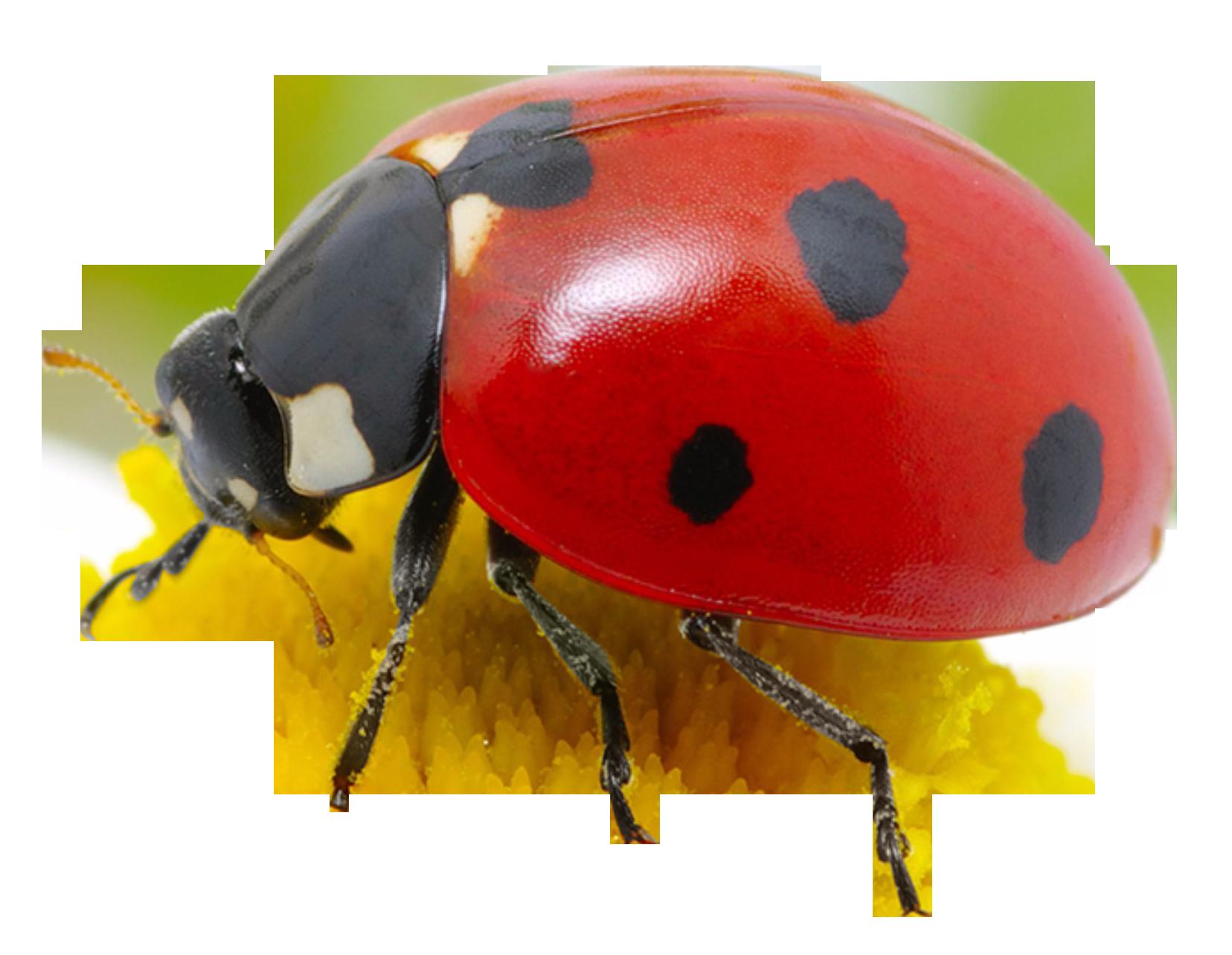 clip art royalty free stock Png image purepng free. Ladybug transparent