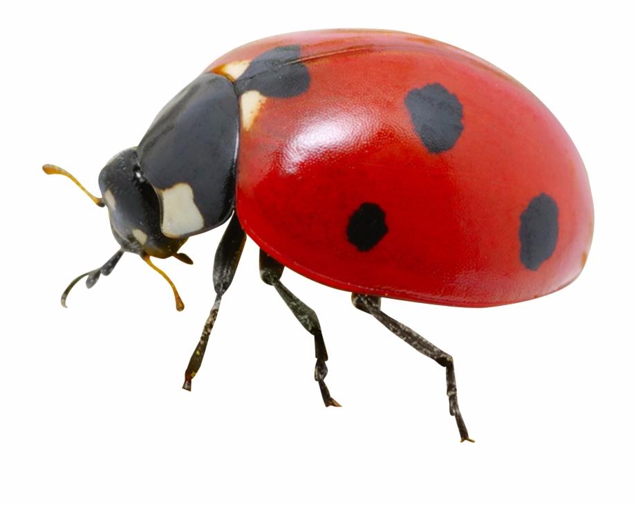 clip art free stock Ladybug transparent. Png image lady bug