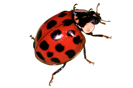 vector free library Red Ladybug PNG Transparent Image