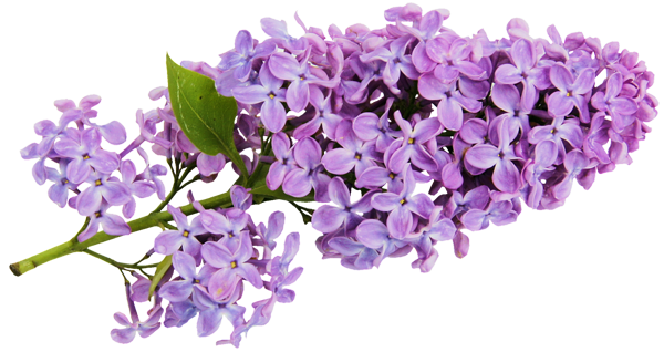 svg free download Transparent Lilac Clipart