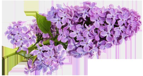 clip art download Transparent Lilac Clipart