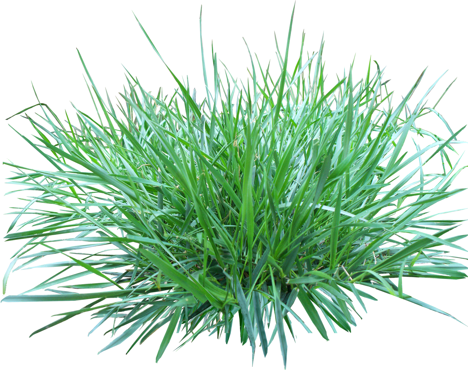jpg library stock Tall transparent png pictures. Lawn clipart wild grass.