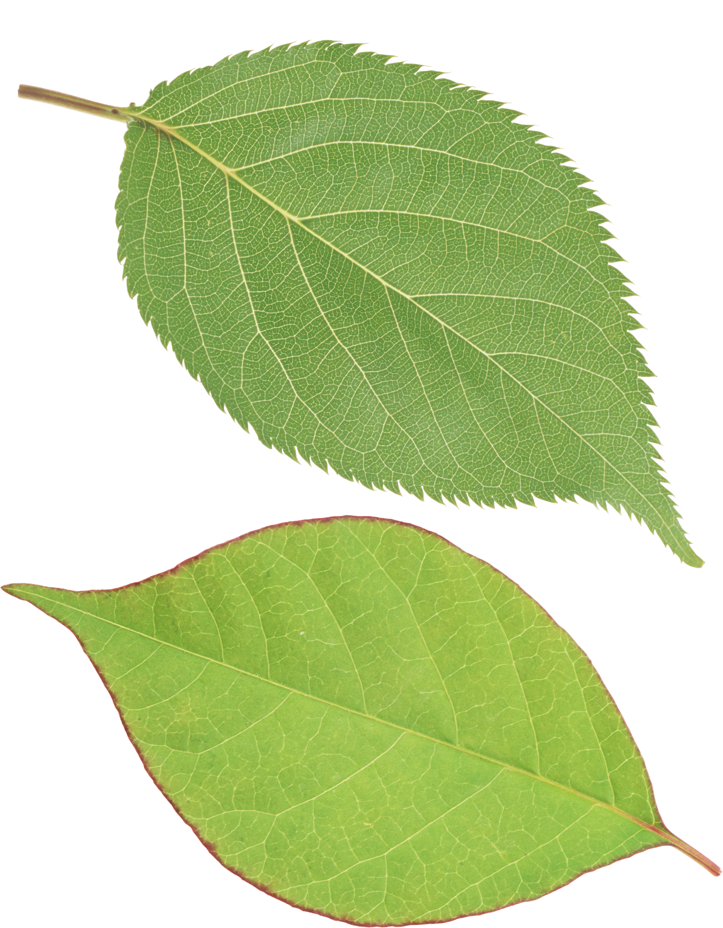picture library Leaves clipart one leaf. Green png images free.
