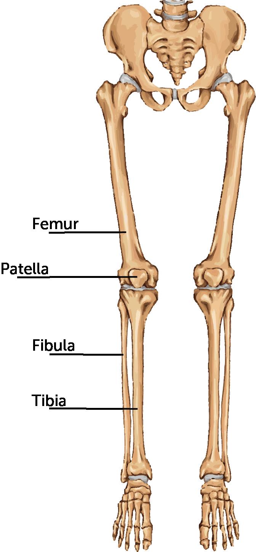 banner freeuse Bones vector femur bone. The body system on