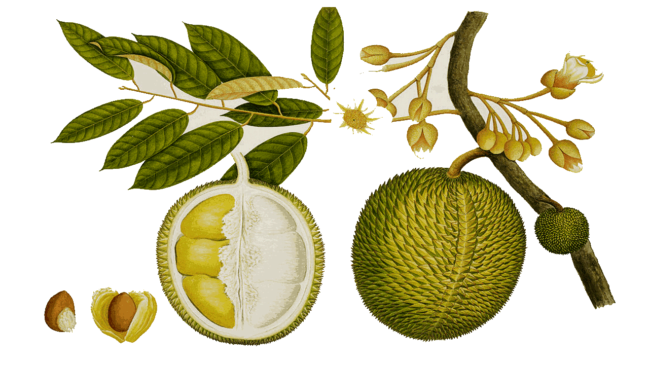 vector free stock Old fashioned coloring pictures. Lemon clipart durian fruit.
