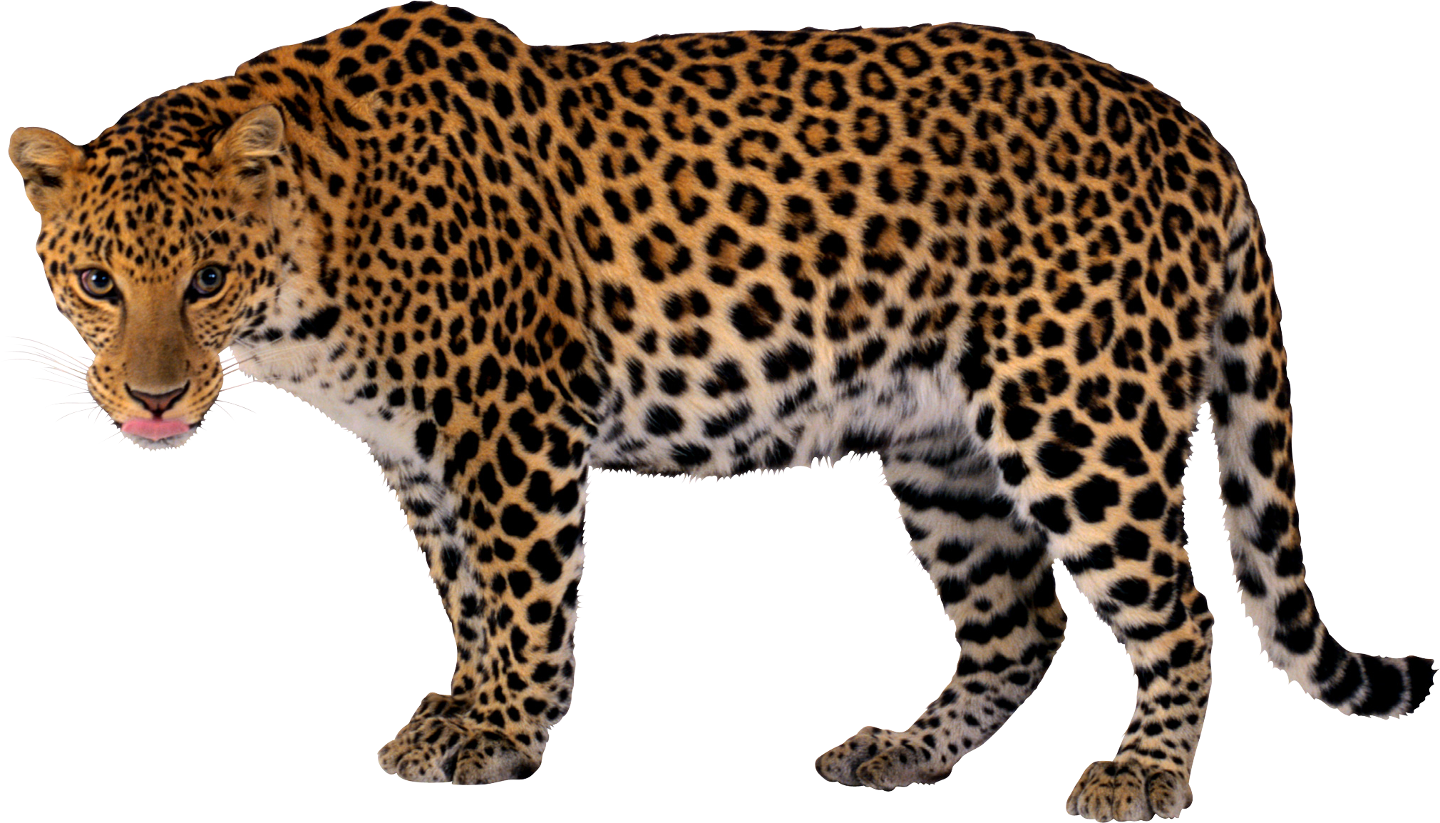 png library Realistic free on dumielauxepices. Leopard clipart.