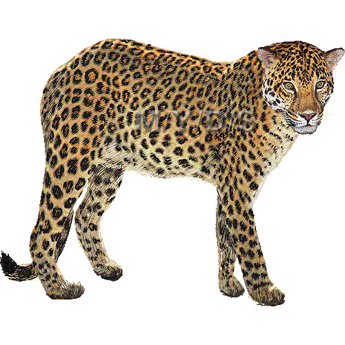 vector transparent library Leopard clipart. Free cliparts download clip.