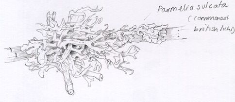 picture free library Lichen drawing fruticose. Lizzie harper sketch in