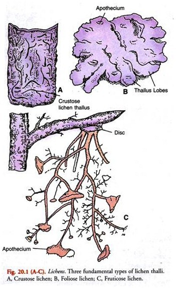 graphic transparent Lichen drawing usnea. Examples of lichens with