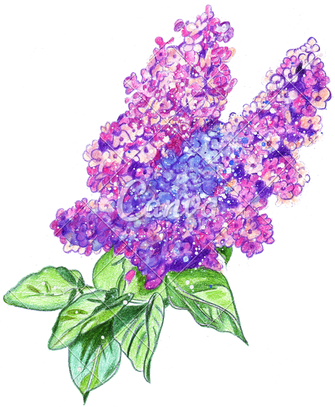 jpg free library Hand Drawing of a Watercolor Lilac