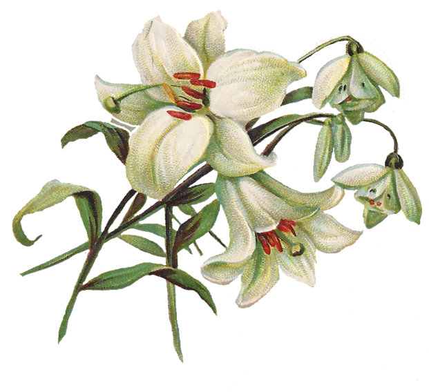 jpg library stock Free lily clip art. Lilies clipart.