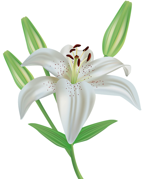 vector free library Lily flower png image. Lilies clipart.