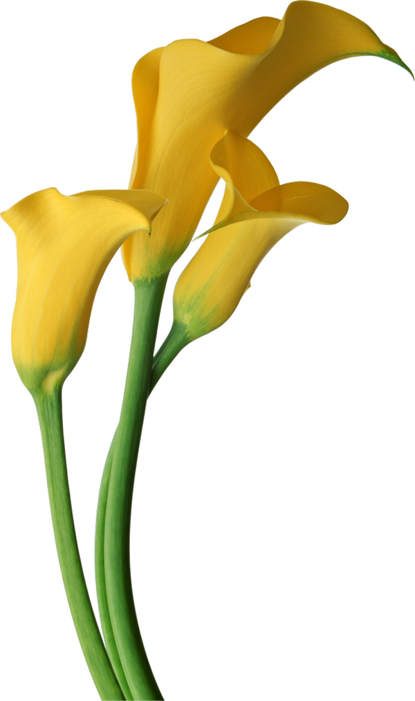 jpg black and white stock Calla flower clip art. Lilies clipart canna lily.