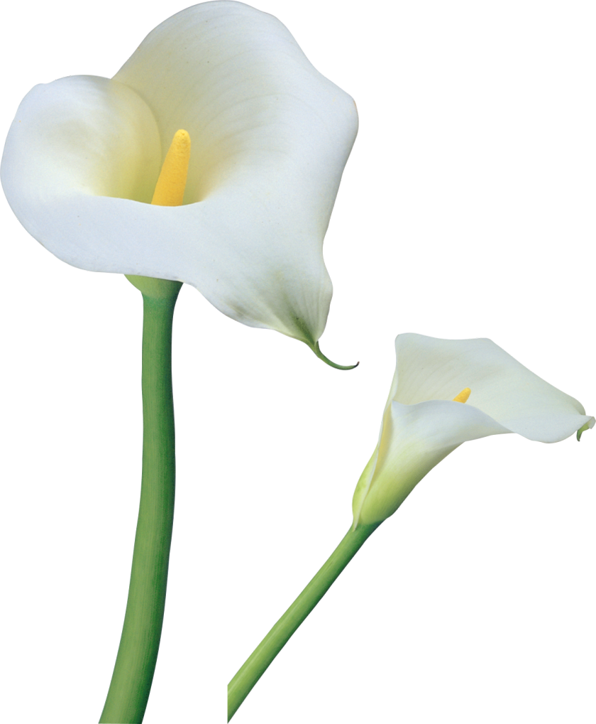clip art library library Transparent calla flowers png. Lilies clipart canna lily.