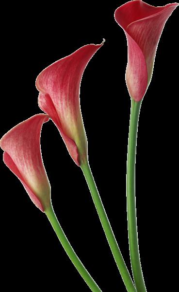clip art transparent Lilies clipart canna lily. Red transparent calla flowers.
