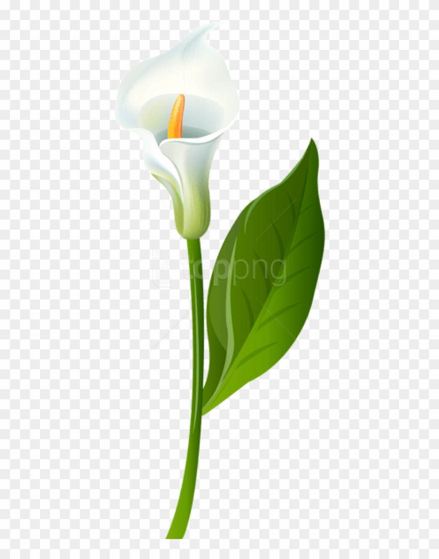 clip black and white download Free png download calla. Lilies clipart canna lily.