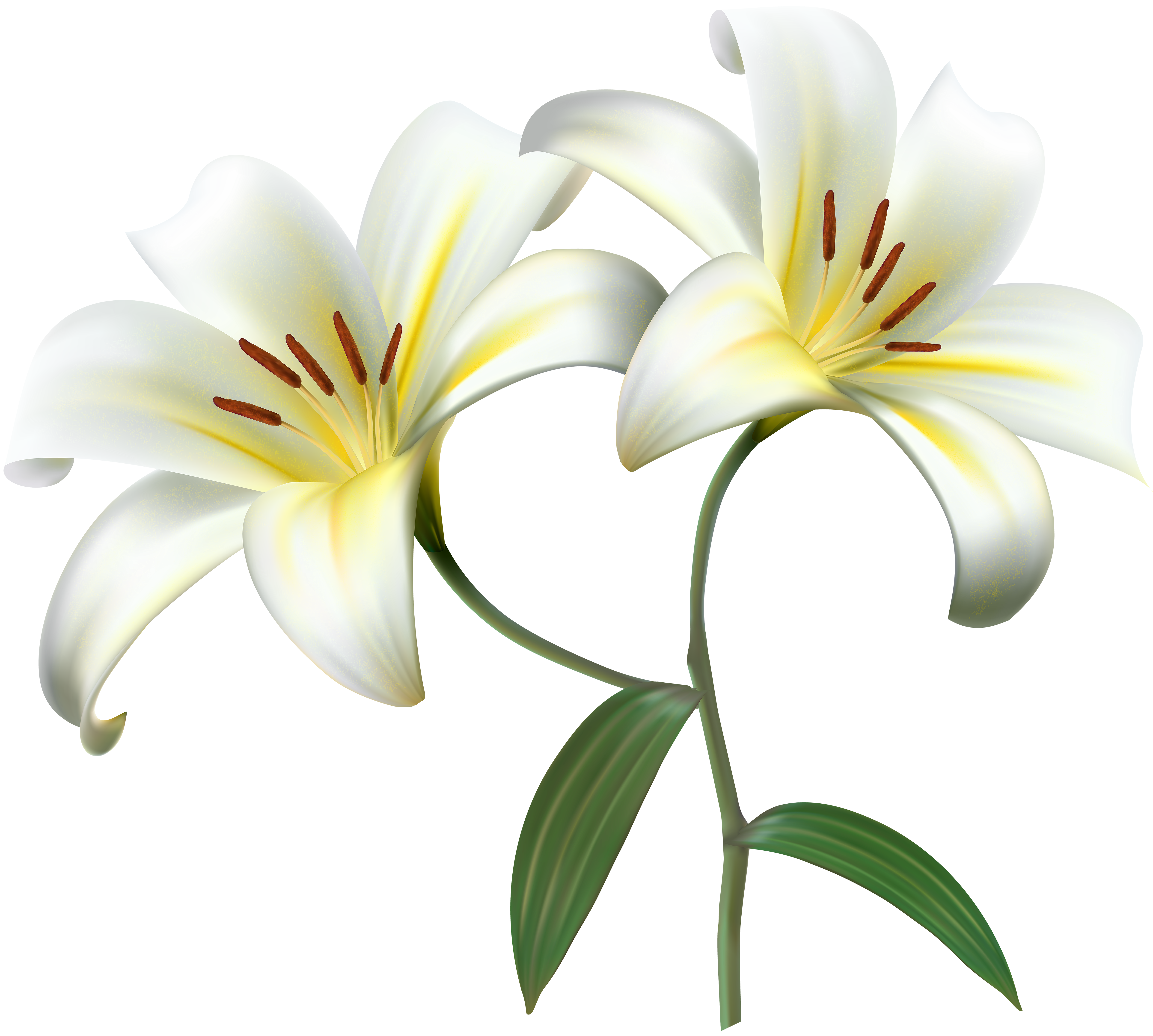 jpg stock Lilies clipart daylily. White lilium flower decorative.