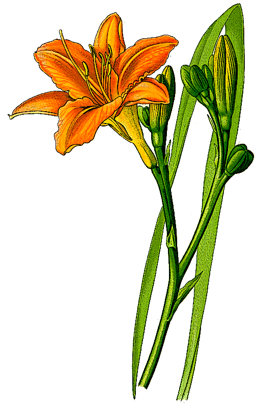 jpg library stock Daylilies clip art pottery. Lilies clipart daylily.