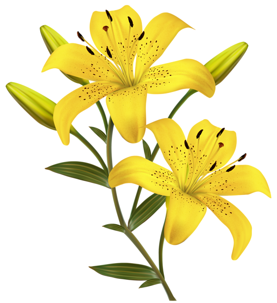 stock Lily clipart flower bouquet. Yellow lilies png image.