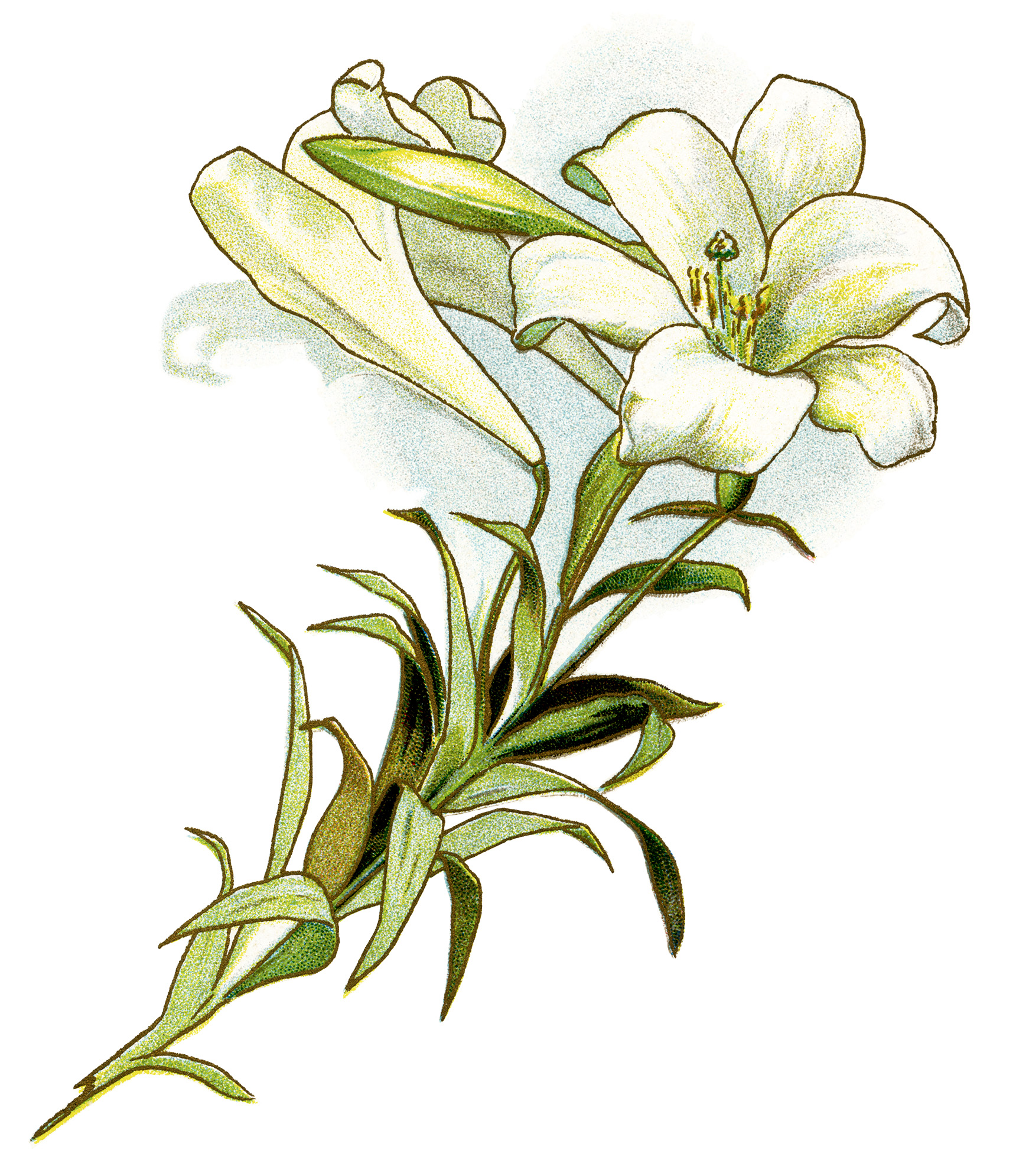 clip freeuse Easter lily clipart. White free vintage image