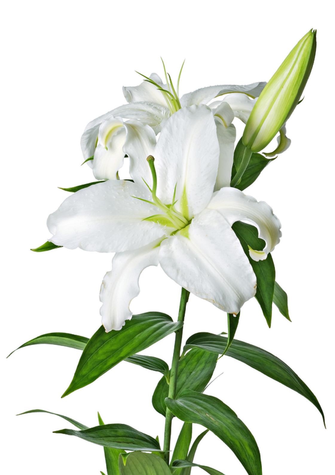 vector transparent download Lily clipart flower bouquet. Lilys site white lilies.