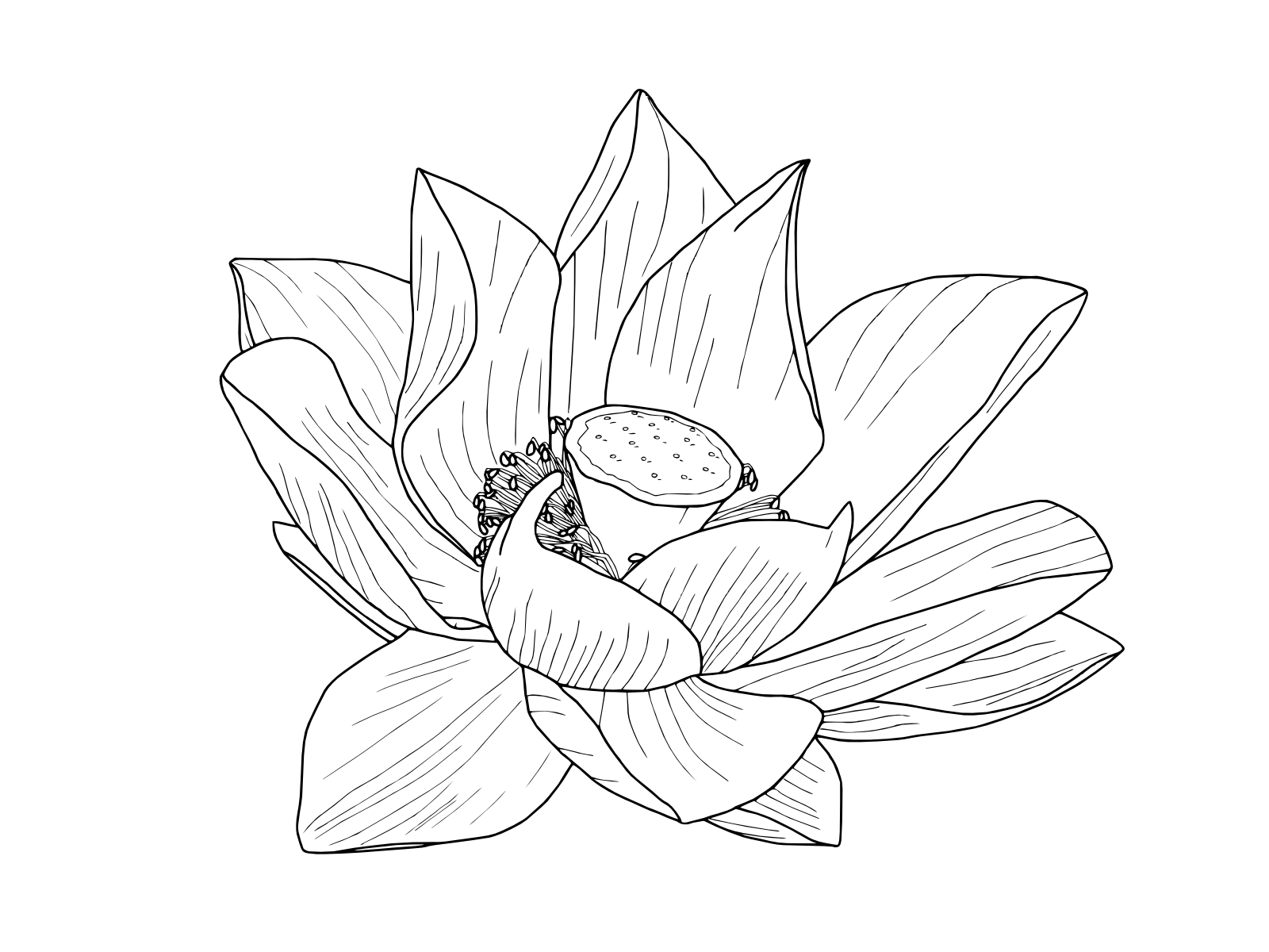 banner black and white stock Line Drawing Lotus Flower at GetDrawings
