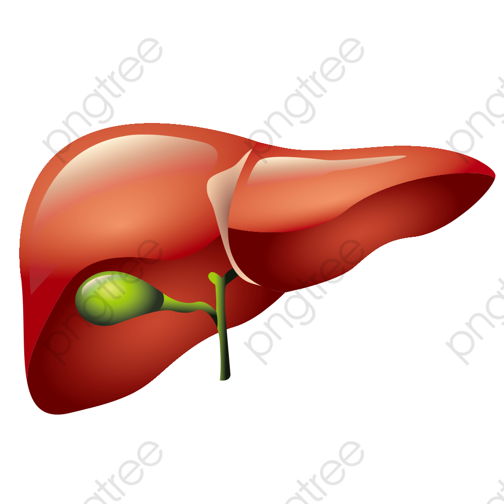 clip free stock Download for free png. Liver clipart