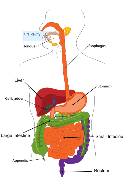jpg transparent library Simplified digestive system clip. Liver clipart body clipart.