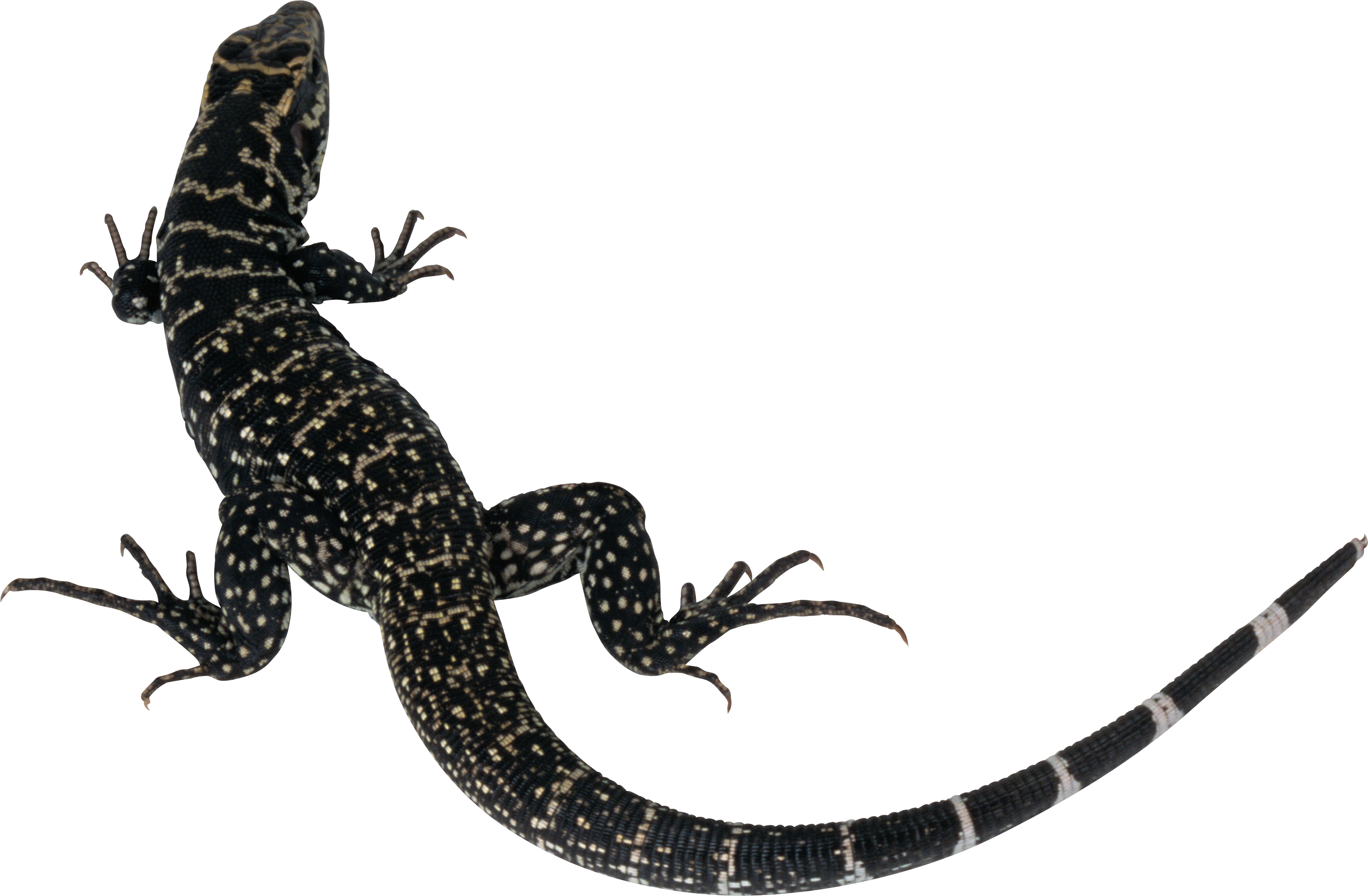 clip art transparent library Monitor tail free on. Lizard clipart diagram.