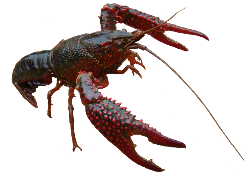 graphic library library American lobster Homarus gammarus Freshwater crab Crayfish Spiny