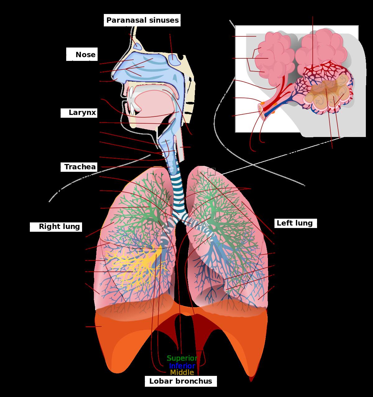 svg black and white stock Respiratory system wikipedia . Drawing necks neck anatomy