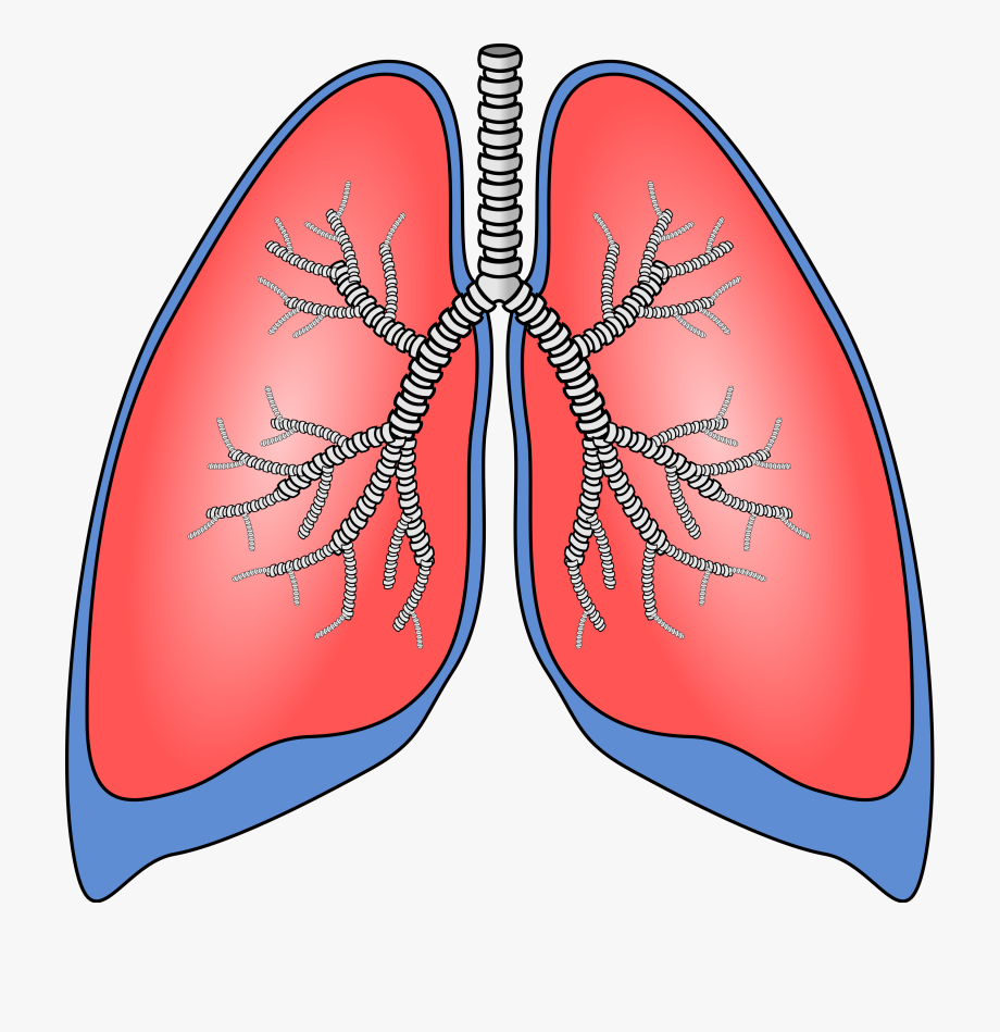 vector freeuse Lungs clipart. Human biology lung free